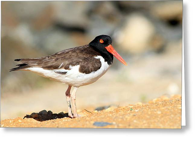 Oyster Catcher 6-4 Greeting Card by Diane Rada