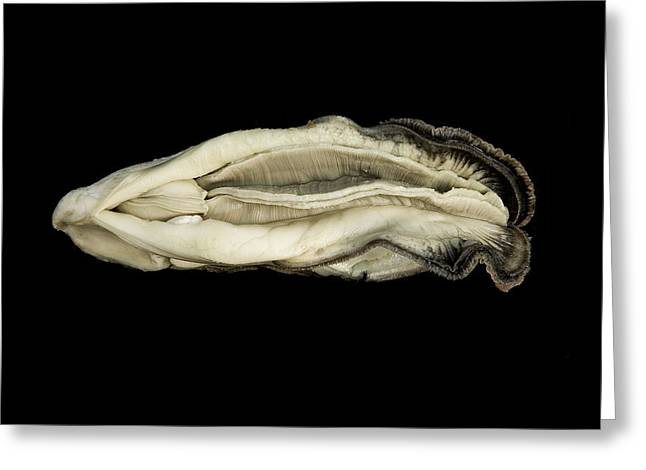 Oyster Suspended In Darkness Greeting Card by Andy Frasheski