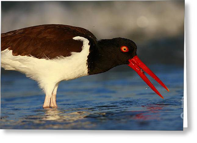 Oystercatcher In Surf Greeting Card