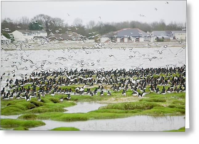 Oystercatchers Roosting At High Tide Greeting Card by Ashley Cooper