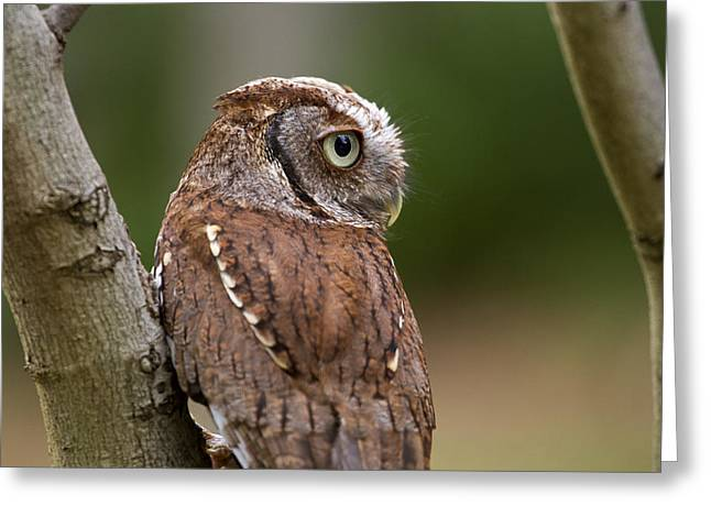 Pablo The Screech Owl Greeting Card