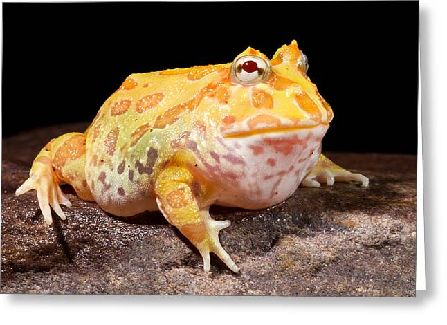 Pac Man Frog Ceratophrys Greeting Card by David Kenny