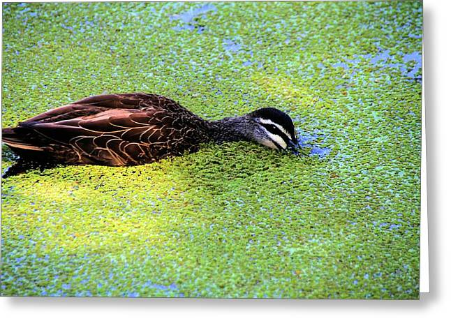 Pacific Black Duck In Algae Greeting Card