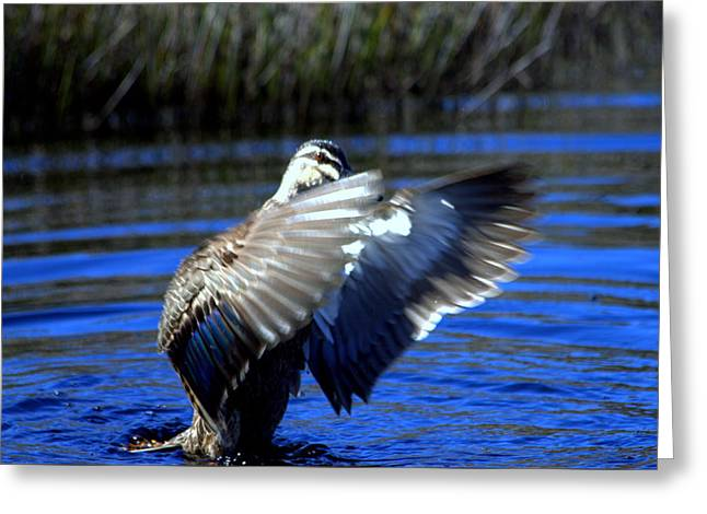 Greeting Card featuring the photograph Pacific Black Duck by Miroslava Jurcik