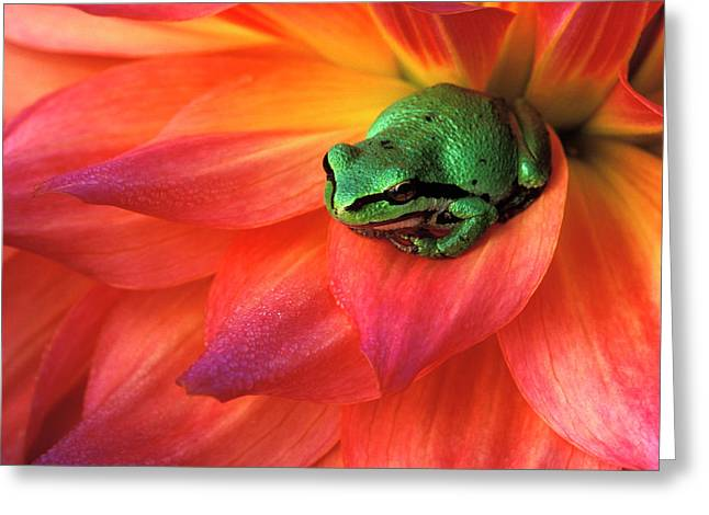 Pacific Chorus Frog On Dahlia Greeting Card by Jaynes Gallery