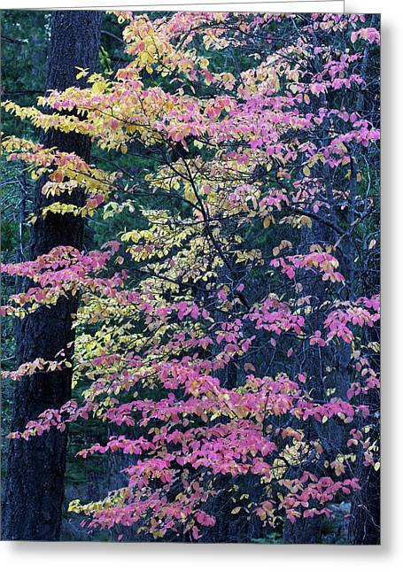 Pacific Dogwood Trees In Autumn Hues Greeting Card