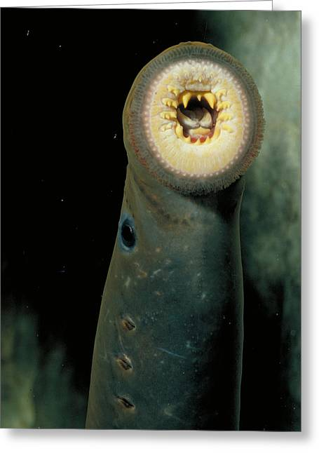 Pacific Lamprey Greeting Card by Rondi Church