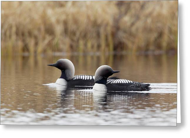 Pacific Loon Pair Greeting Card