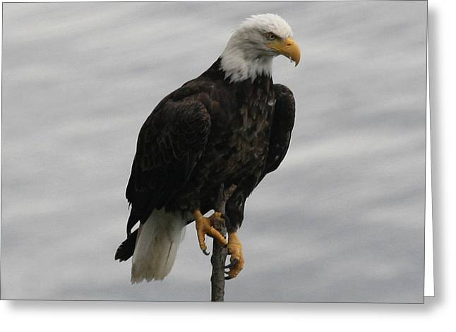 Pacific Northwest Eagle IIi Greeting Card by Mary Gaines