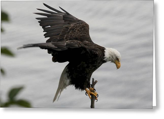 Pacific Northwest Eagle  Greeting Card by Mary Gaines