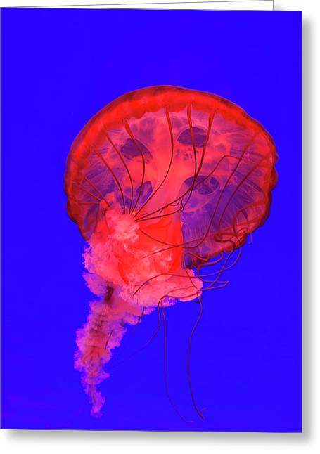 Pacific Sea Nettle Jellyfish (chrysaora Greeting Card by Peter Adams