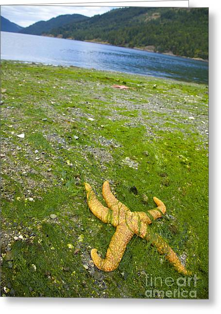 Pacific Starfish Greeting Card by Graham Foulkes