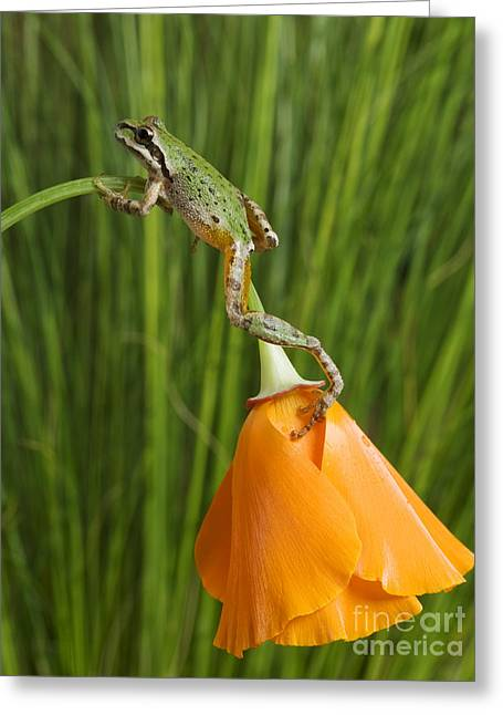 Pacific Treefrog On California Poppy Greeting Card