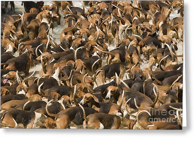 Pack Of Hound Dogs Greeting Card by Jean-Michel Labat
