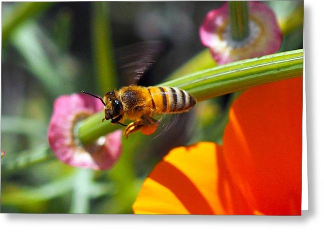 Packin Poppy Pollen Greeting Card by Joe Schofield