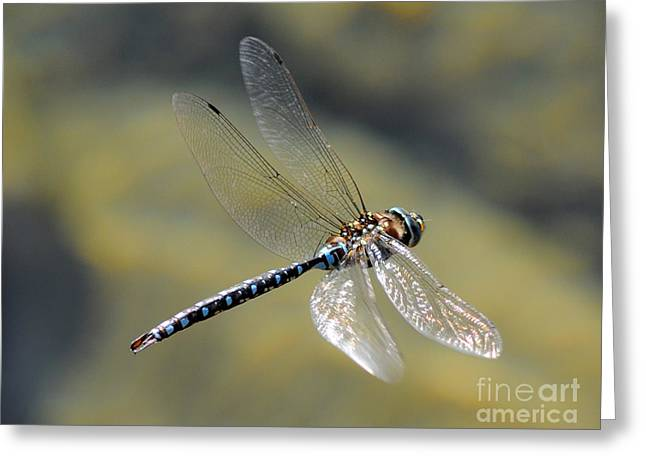 Greeting Card featuring the photograph Paddletail Darner In Flight by Vivian Christopher