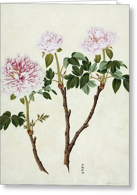Paeonia Moutan, 19th-century Artwork Greeting Card by Science Photo Library