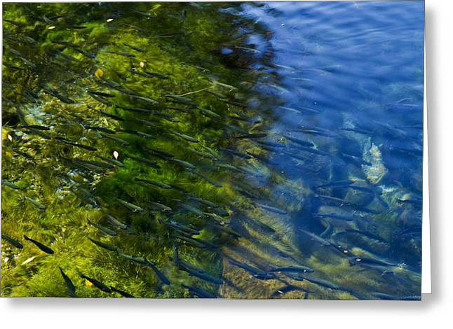 Page Springs Hatchery Greeting Card by Tom Kelly