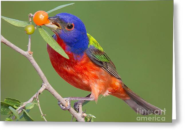 Painted Bunting Eating Granjeno Berry Greeting Card by Jerry Fornarotto