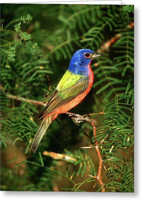 Painted Bunting (passerina Ciris Greeting Card by Richard and Susan Day
