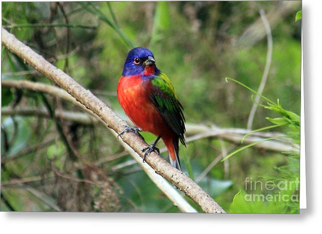 Greeting Card featuring the photograph Painted Bunting Photo by Meg Rousher