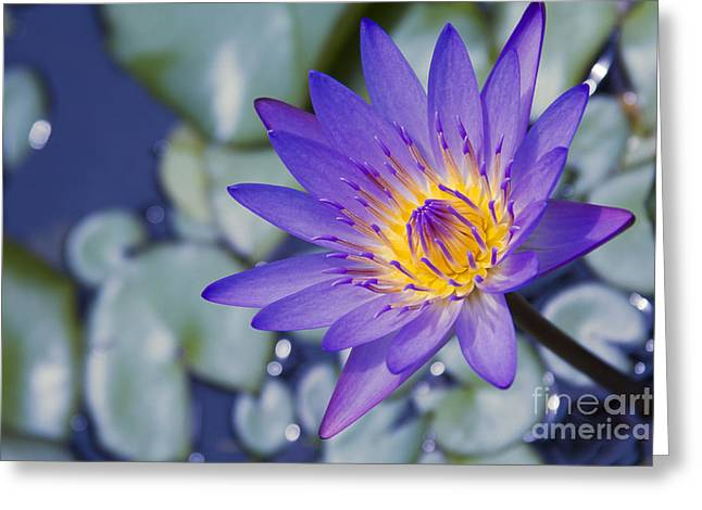Painted Islands Of Summer Lilies - The Lotus Blossom Greeting Card by Sharon Mau