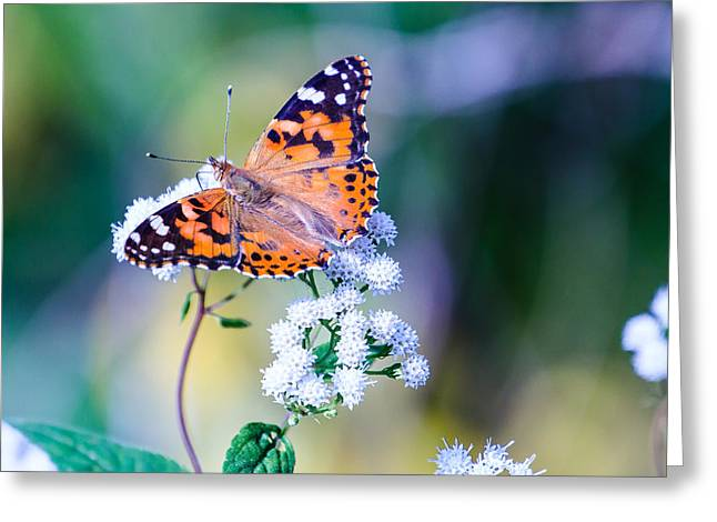 Painted Lady Butterfly 1 Greeting Card