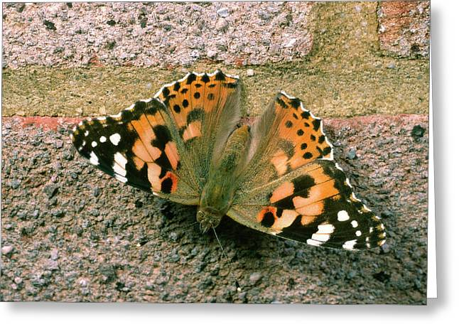 Painted Lady Butterfly Greeting Card by Nigel Downer
