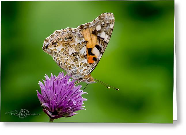 Painted Lady II Greeting Card by Torbjorn Swenelius