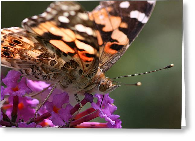 Painted Lady On Butterfly Bush Greeting Card