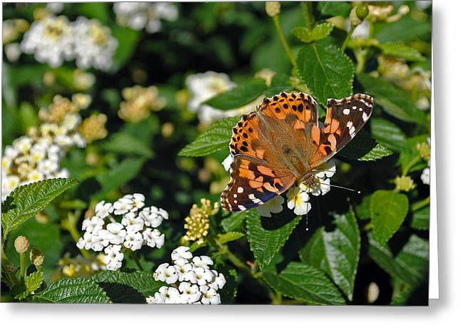Painted Lady Greeting Card by Skip Willits