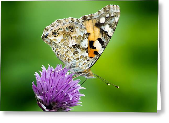 Painted Lady Greeting Card by Torbjorn Swenelius