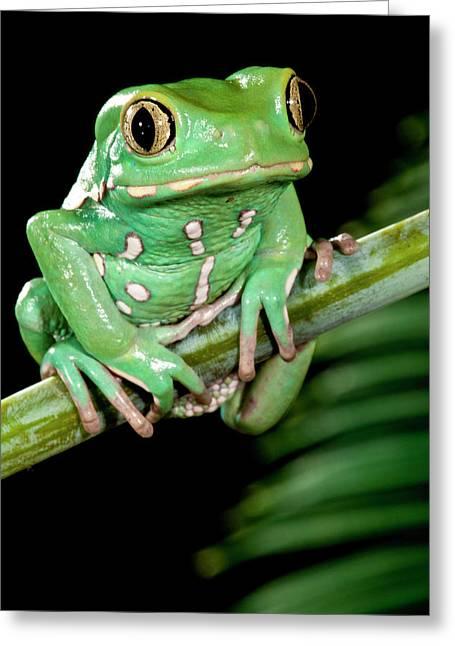 Painted Monkey Frog Phyllomedusa Greeting Card by David Northcott