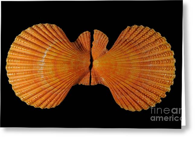 Painted Scallop Greeting Card by Scott Camazine