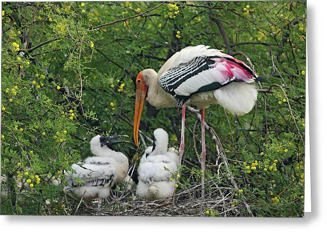 Painted Stork & Young Ones,keoladeo Greeting Card by Jagdeep Rajput