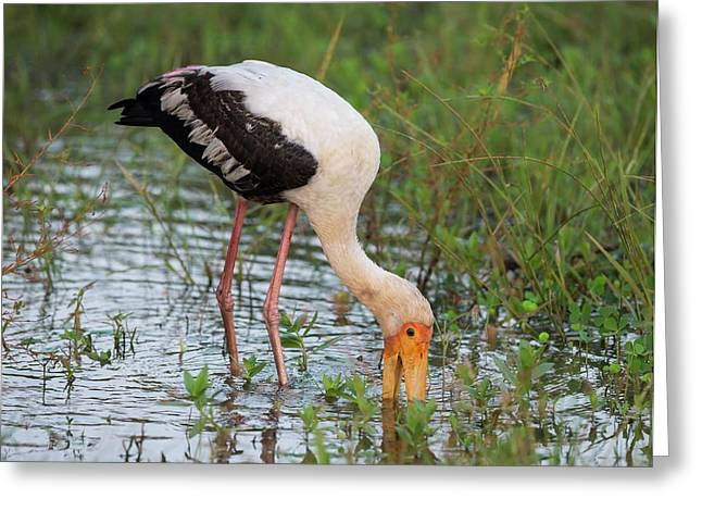 Painted Stork Feeding Greeting Card