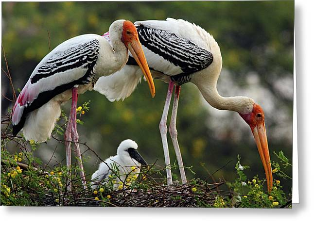 Painted Storks & Young One Greeting Card by Jagdeep Rajput