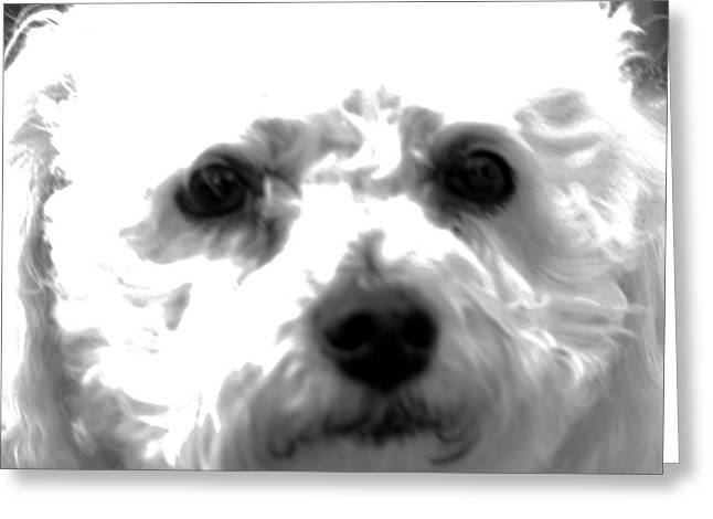 Greeting Card featuring the photograph Painterly Bichon Frise by Patrice Zinck
