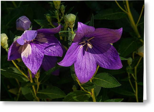 Pair Of Balloon Flowers Greeting Card