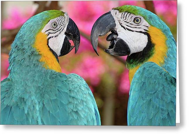 Pair Of Blue And Gold Macaws Engaged Greeting Card