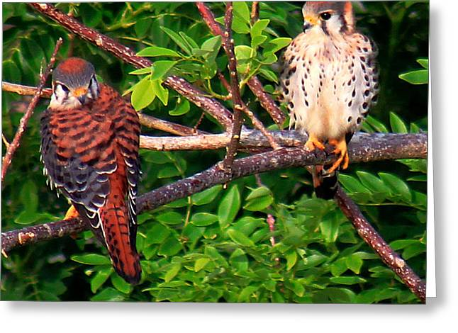 Caribbean Falcons Greeting Card