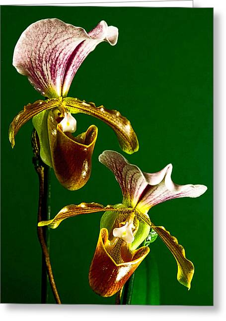 Pair Of Lady Slipper Orchids Greeting Card by Elf Evans