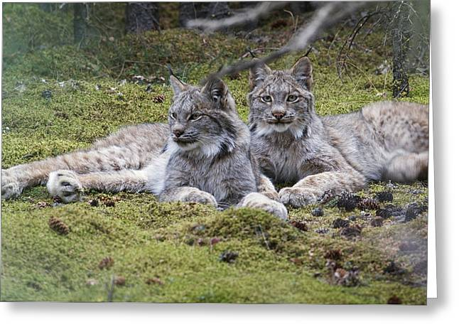Pair Of Lynx Rest In Mossy Opening Greeting Card by Kenneth Whitten