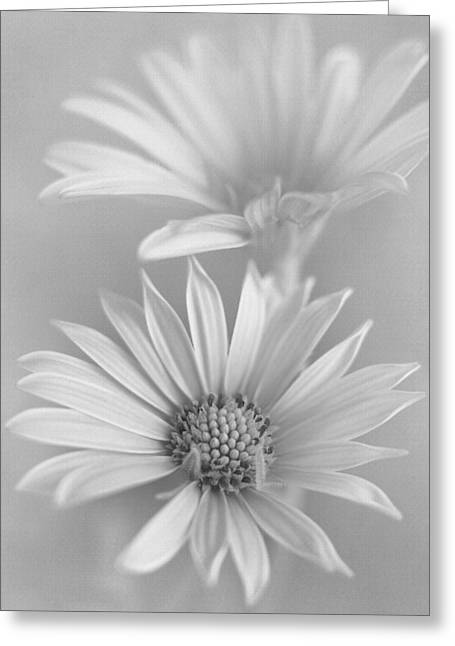 Pair Of Monochrome Daisies Greeting Card