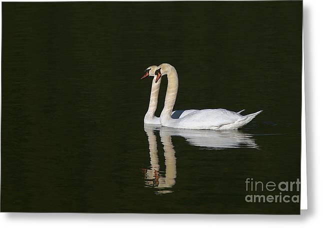 Pair Of Mute Swans Greeting Card