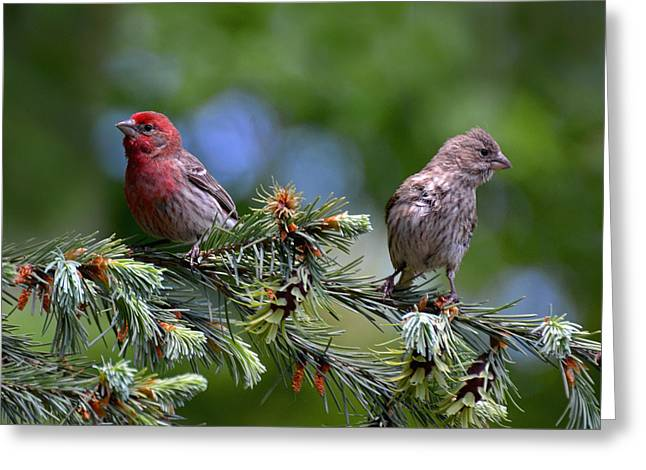 Pair Of Purple Finches Greeting Card