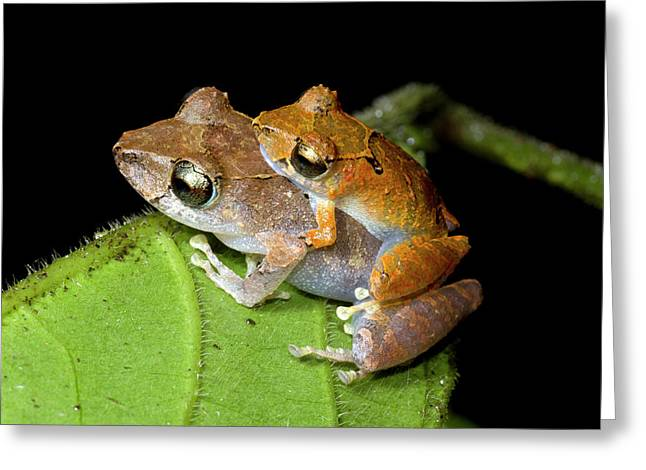 Pair Of Rain Frogs In Amplexus Greeting Card by Dr Morley Read