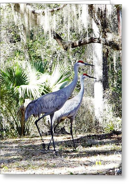 Pair Of Sandhill Cranes Greeting Card by D Hackett