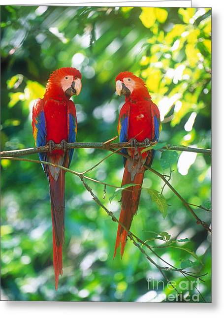 Pair Of Scarlet Macaws Greeting Card