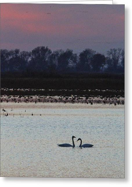 Pair Of Swan At Sunset Greeting Card